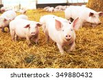 Herd Of Young Piglet On Hay An...