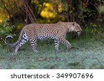 Walking Leopard Female In Masa...