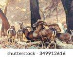 wild moufflon in cyprus | Shutterstock . vector #349912616