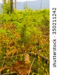 Small photo of Young Norway Spruce (Picea Abies (L.) H. Karst)