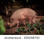Closeup Of A Buru Babirusa ...