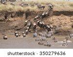 Wildebeest And Zebras Climbing...