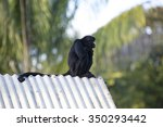 Chimpanzee Sitting On Roof At...