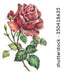 Rose Color Pencil  Illustration