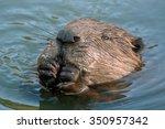 Close Up Of Eurasian Beaver ...
