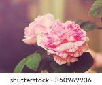beautiful pink tea roses in the ...   Shutterstock . vector #350969936