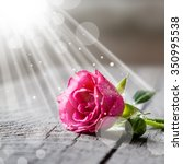 Stock photo beautiful pink rose with water drops on rustic background beam of light copy space 350995538