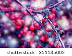 Red Fruits Of Cotoneaster...