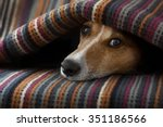 Stock photo jack russell dog sleeping under the blanket in bed daydreaming sweet dreams 351186566