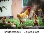 chicken in chinese rural areas... | Shutterstock . vector #351261125