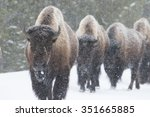 Four Bison Walk Toward The...