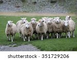 Group Of Running Sheep On The...