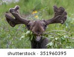 Stock photo funny awkward moose eating branches 351960395