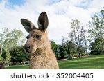 Detail Of Standing Kangaroo In...