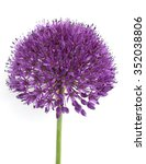 Giant Leek  Allium Giganteum