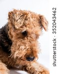Small photo of Airedale terrier lying on the ground