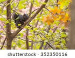 black squirrel spotted in... | Shutterstock . vector #352350116