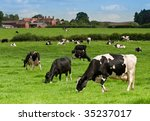 Dairy Cows Grazing In The...