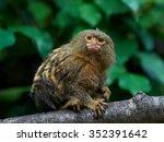Pygmy Marmoset  Cebuella...