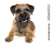 Purebred Border Terrier In...