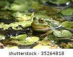 Green Frog In The Pond  Rana...