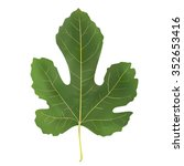 leaf of fig mulberry tree green ...