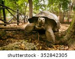 Stock photo an aldabra giant tortoise looks out from its shell on prison island off zanzibar tanzania 352842305