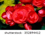 Red Begonia Flowers Blooming I...
