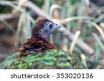 Small photo of Congo Peafowl (Afropavo congensis)