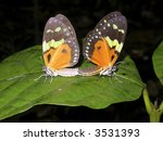 Pair Of Butterflys Mating In...