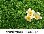 grass background & flowers. Plumeria on the Grass - stock photo