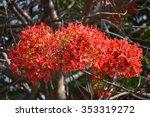 Blooming Jacaranda Tree