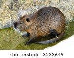 nutria rat in the water eating | Shutterstock . vector #3533649