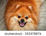Spitz Dog Close Up  Smiling Do...