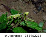 praying mantis  wildlife insect ... | Shutterstock . vector #353462216
