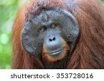 Small photo of The adult male of the Dominant male orangutan with the signature developed cheek pads that arise ( testosterone surge). Background dark green foliage in the wild nature. Borneo. Indonesia.