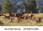 A Herd Of Mother Elk With...