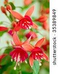Fuchsia Close Up