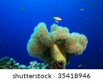 Small photo of Leather Coral (Alcyoniidae)