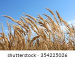 Dried Plants Of Cereal Weeds O...