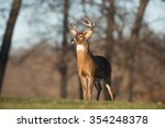 Whitetailed Deer Buck In A...