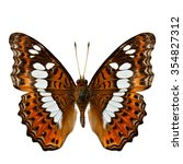 Small photo of Common Commander (Moduza procris milonia) the beautiful orange with white stripe butterfly upper wings part in natural color profile isolated on white background