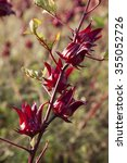 Small photo of Beautiful red roselle on tree