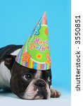 boston terrier with a birthday hat on - stock photo
