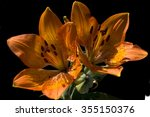 Lilium  Bulbiferum  Fire Lily