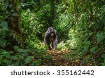 Stock photo mountain gorillas in the rainforest uganda bwindi impenetrable forest national park an excellent 355162442