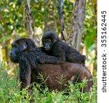 A Female Mountain Gorilla With...