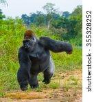 lowland gorillas in the wild....   Shutterstock . vector #355328252
