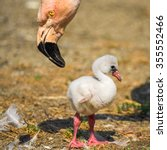 Small photo of Baby bird of the American flamingo (Phoenicopterus ruber) near to its parent.