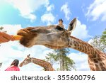 Giraffe On A Feed